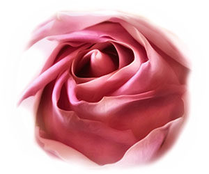 about_rose