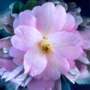 flower_office_visit_full_petal